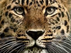 Israel Arabian Leopard down to 200!