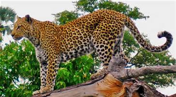 Israel Leopard