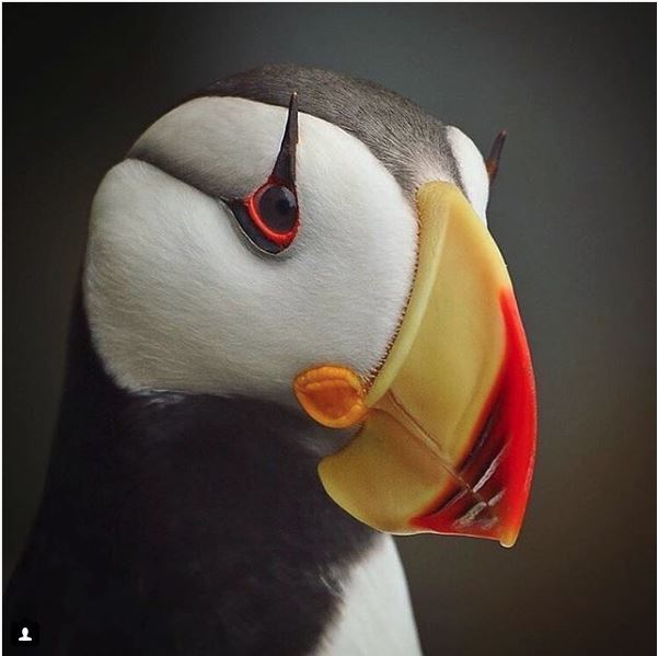 Puffin Photo by @jc_wings