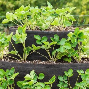 Blackbeans for your garden growing!