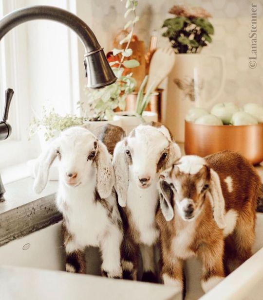 Rub-a-dub-dub three goats in a tub!