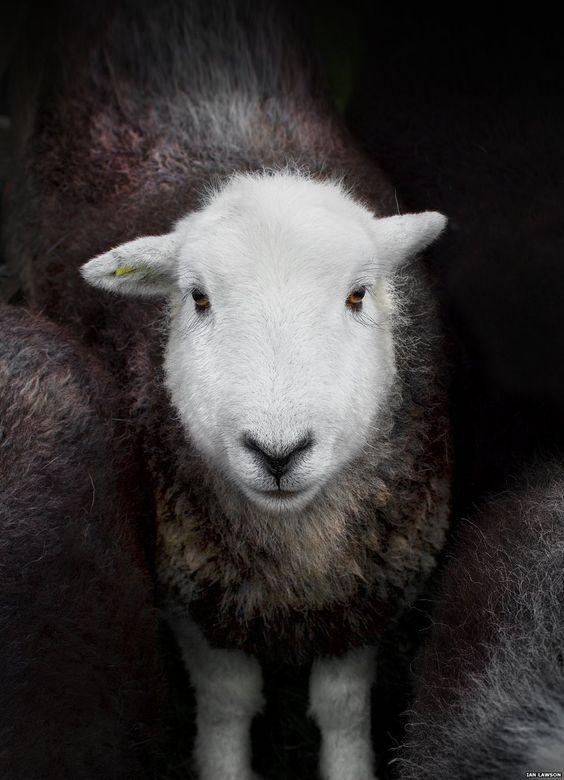 Sweet little sheep kisser
