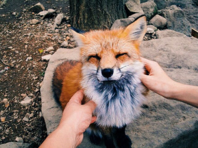 Cuddle Fox