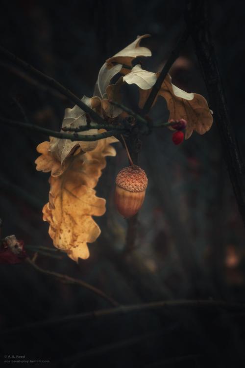 Oak tree and acorn
