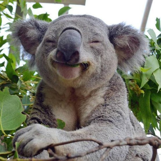 A very happy Koala Bear