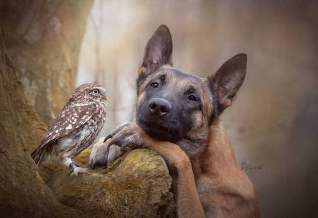 Sweet GSD and owl