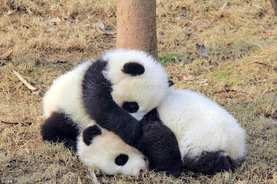 Calling all panda lovers