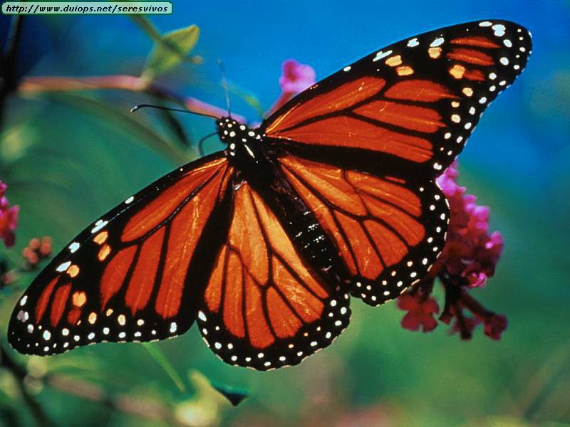Monarch butterflies wallpaper