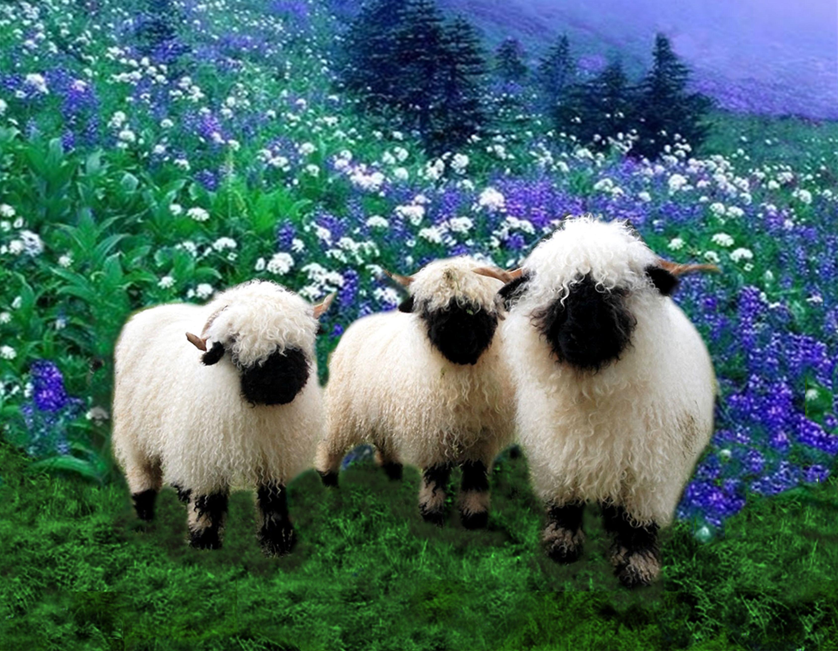 Valaise Blacknose Sheep