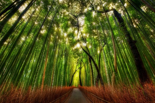 Sky high Bamboo forest, Japan.